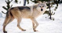 Uwaga na wilki